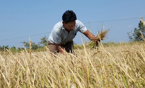 worst-drought-and-salinity-to-threaten-rice-supply-of-the-world-2