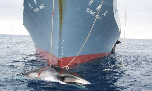 Australia slams Japan Antarctic whale hunt