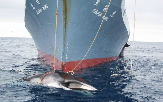 Australia slams Japan Antarctic whale hunt