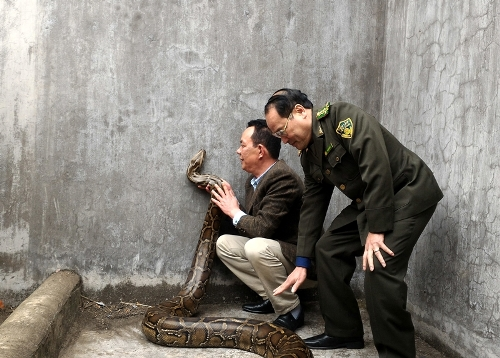 60-kilogram-python-released-to-wild-after-10-years-being-caged