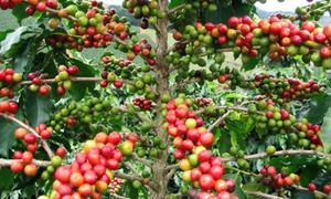 Nestle changes growing habits of Vietnamese coffee farmers