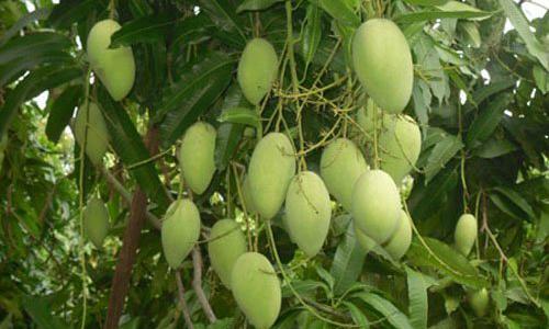 Vietnamese mangos to get taste of Australian market