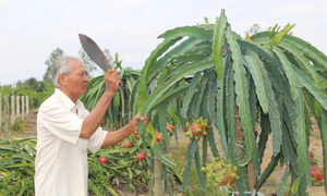 Farmers opt for red dragon fruit in hope of doubling profit from China