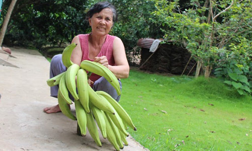 Giant bananas prove a big hit
