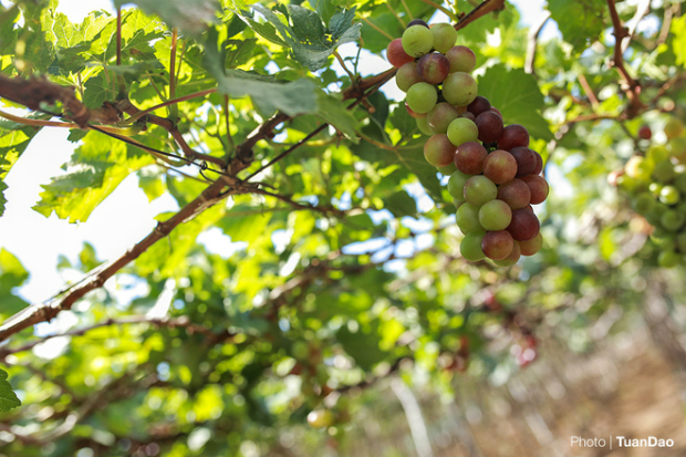There are three kinds of grape: green, red and black. Black is mostly reserved for wine while green and red is sold as fruit.