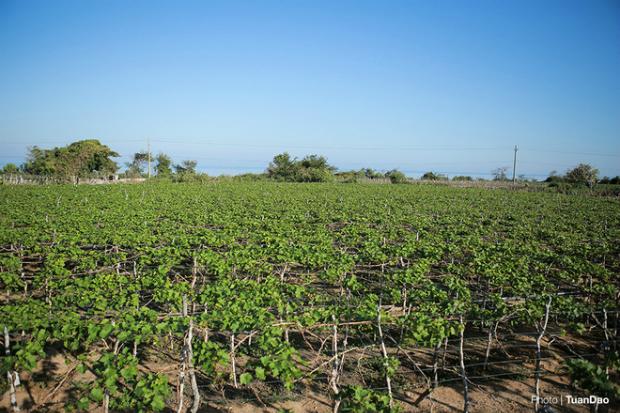 Phan Rang grape (Ninh Thuan) has long been known throughout Vietnam, grown along the road from Ninh Chu to Vinh Hy with three crops per year.