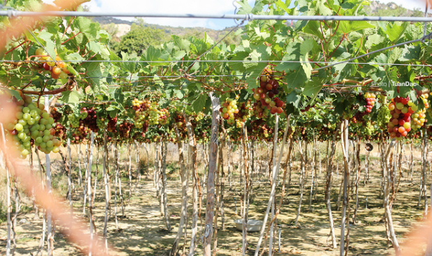 Grape price stays at VND30,000 ($1.2) and VND80,000 ($3.5) for red and green grape respectively. Wine and honey made by bees raised in the grape orchards is also available.
