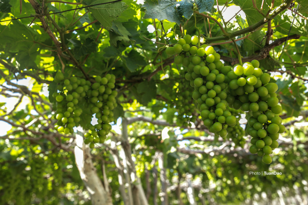 Grape here is mild, both in sweetness and sourness.