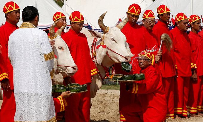 Thailand's oxen soothsayers predict enough rainfall, prosperous economy
