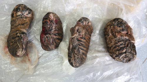 police-seize-4-frozen-tiger-cubs-arrest-one