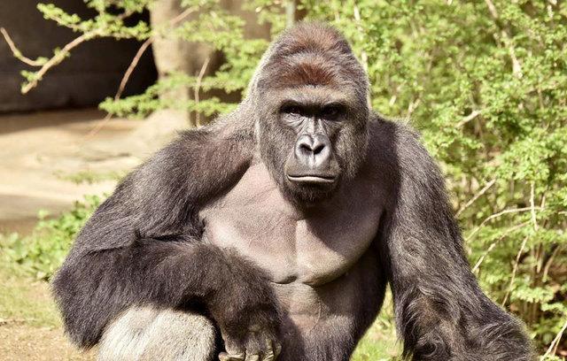 Cincinnati gorilla killed after boy falls into zoo enclosure