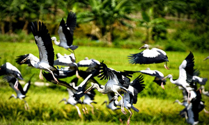 Endangered birds make surprise touchdown in Lao Cai
