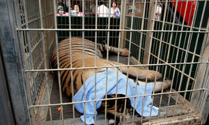 Dead tigers found in Thai temple amid trafficking fears