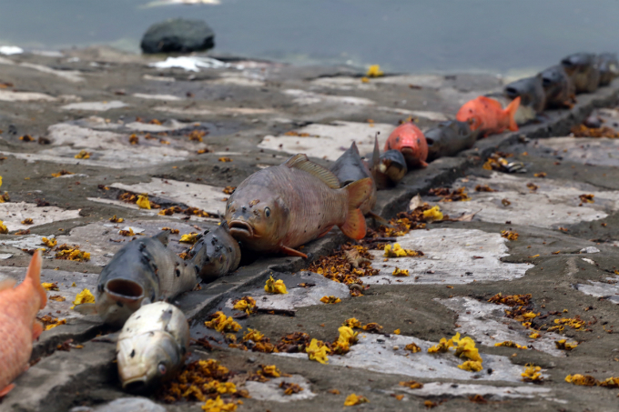 hanoi-lake-latest-to-of-dead-fish-assive-dead-fish-stay-afloat-in-hanoi-lake-5