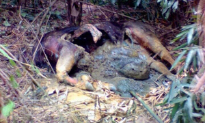 Suspected gayal found dead in Nghe An