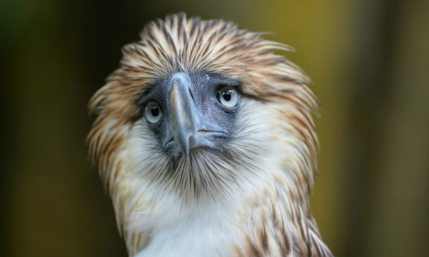 Sanctuary offers hope for endangered Philippine eagle