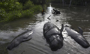 Rescuers struggle to save beached whales in Indonesia
