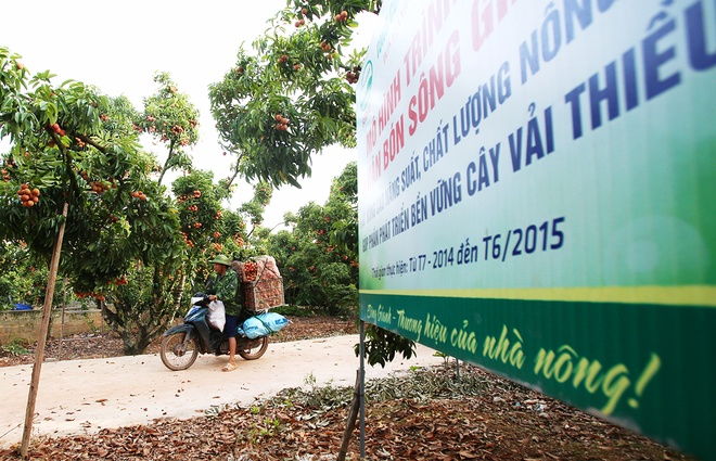 vietnamese-farmers-lick-their-lips-at-rising-lychee-prices-9