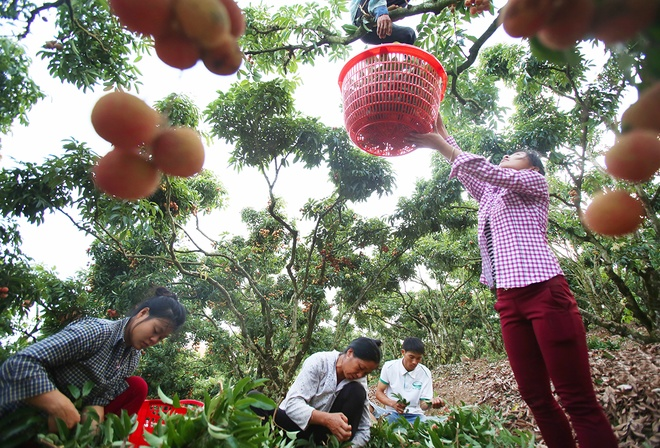 vietnamese-farmers-lick-their-lips-at-rising-lychee-prices-1