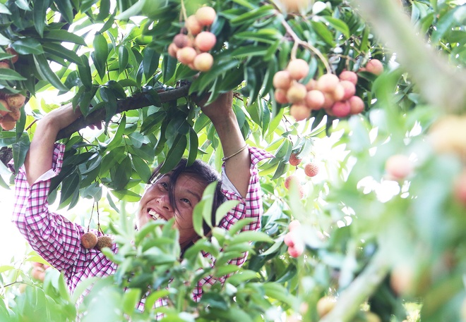 vietnamese-farmers-lick-their-lips-at-rising-lychee-prices-2