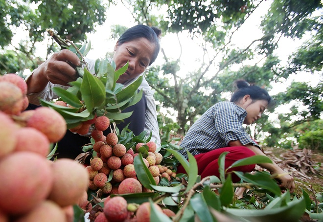 vietnamese-farmers-lick-their-lips-at-rising-lychee-prices-3