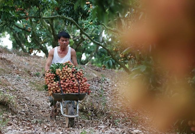 vietnamese-farmers-lick-their-lips-at-rising-lychee-prices-6