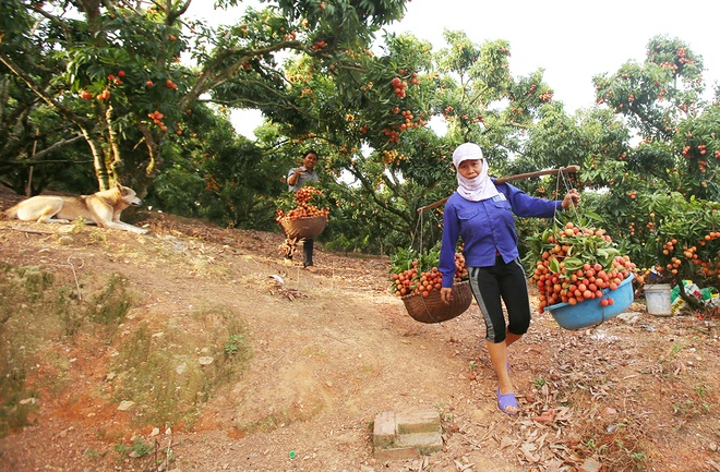 vietnamese-farmers-lick-their-lips-at-rising-lychee-prices-4