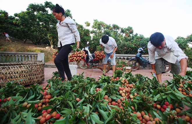 vietnamese-farmers-lick-their-lips-at-rising-lychee-prices-5