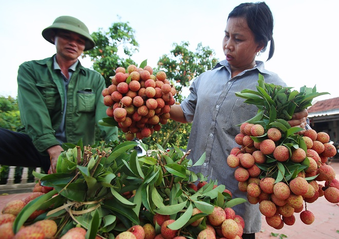 vietnamese-farmers-lick-their-lips-at-rising-lychee-prices-7