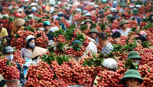 hanoi-treatment-center-a-godsend-for-lychee-exports-to-australia