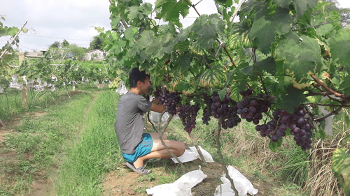 vietnamese-farmer-reaps-rewards-on-the-grapevine-1