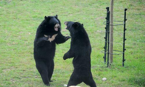 Vietnam police seize 40 kilos of bear paws on Lao coach