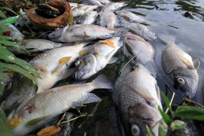suspect-sewage-pipes-to-blame-for-da-nang-fish-genocide-4