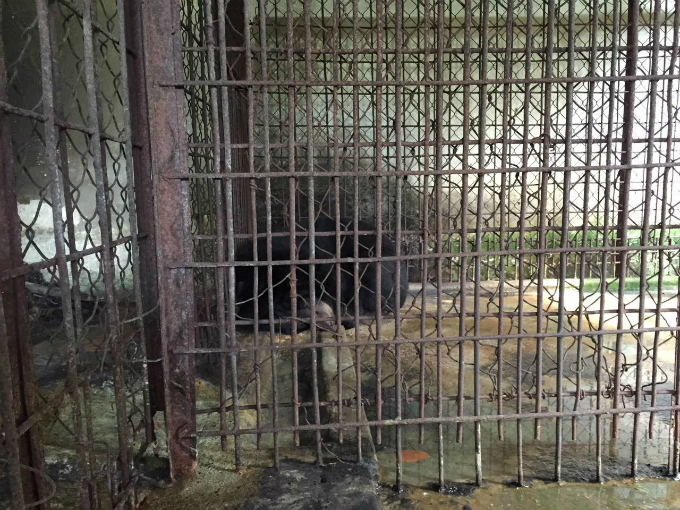 endangered-moon-bear-rescued-in-vietnam-after-decade-in-captivity-1