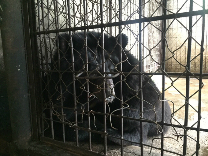 endangered-moon-bear-rescued-in-vietnam-after-decade-in-captivity-2