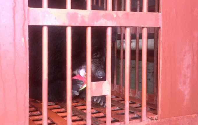 endangered-moon-bear-rescued-in-vietnam-after-decade-in-captivity-7