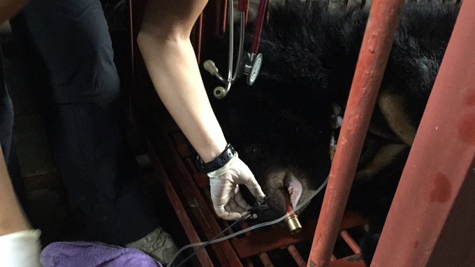 endangered-moon-bear-rescued-in-vietnam-after-decade-in-captivity-6