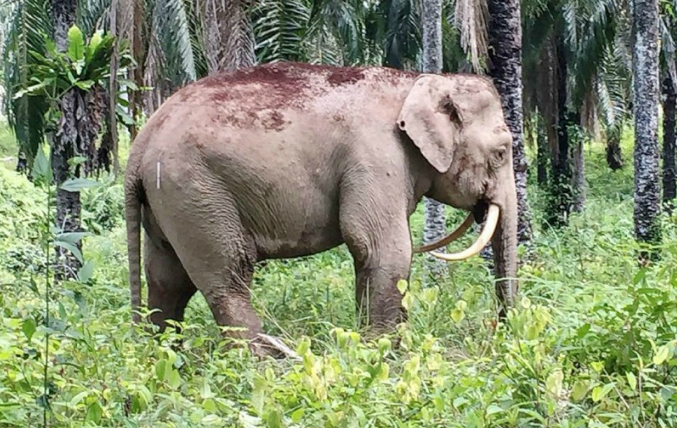 An elephant with downturned tusks pictured at a palm oil plantation in the Malaysian state of Sabah on Borneo island, in a picture released on August 11, 2016 by the Sabah Wildlife Department