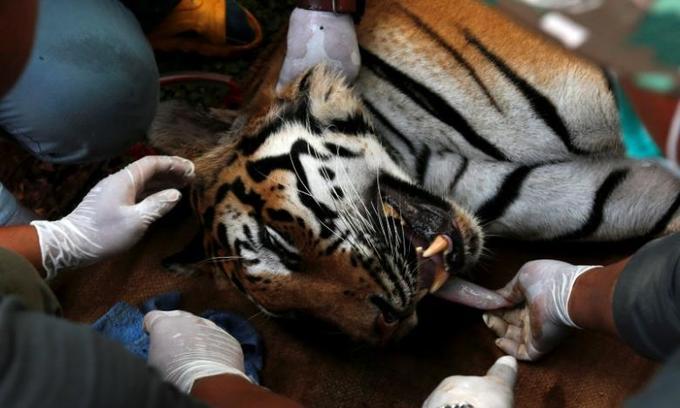 Thailand's tiger tourism expands despite raid on infamous tiger temple