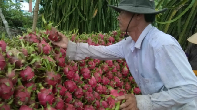 chinese-fined-in-vietnam-for-illegal-dragon-fruit-dealing