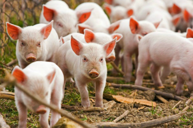 giant-russian-agro-firm-to-export-pork-to-vietnam