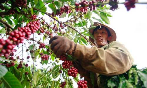 Vietnam's coffee exports grind their way through historic drought