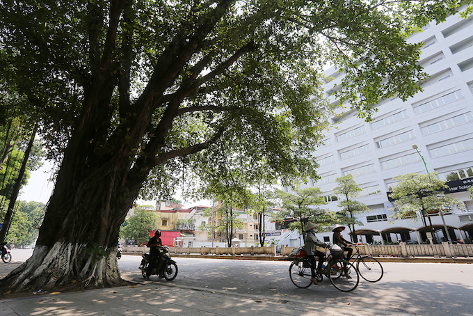 This huge banyan tree with a two-meter trunk will be left alone.