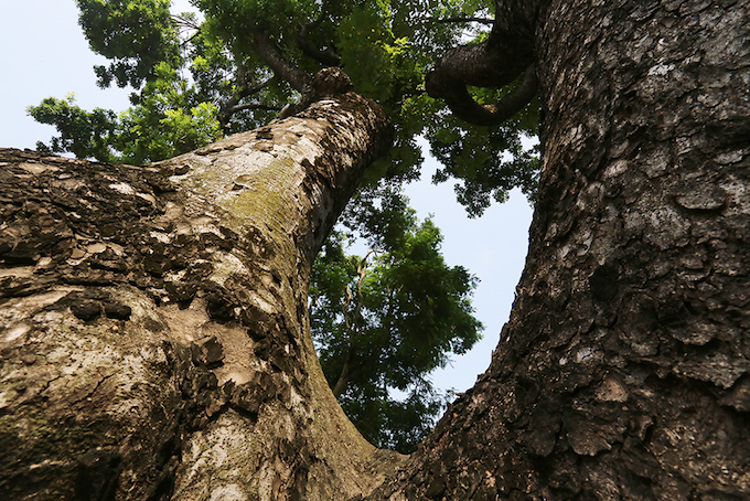 Some of the mahogany trees are huge. Several infrastructure projects in both Hanoi and Ho Chi Minh City have come at the expense of many trees, and could have been worse without strong public protests.
