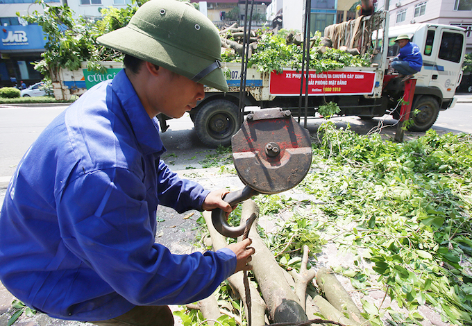 The trees will be moved to a garden in the neighboring Hung Yen Province and be replanted in Hanoi after a year.