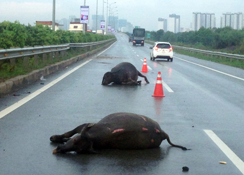 Buffalo killed in mystery Vietnam expressway incident