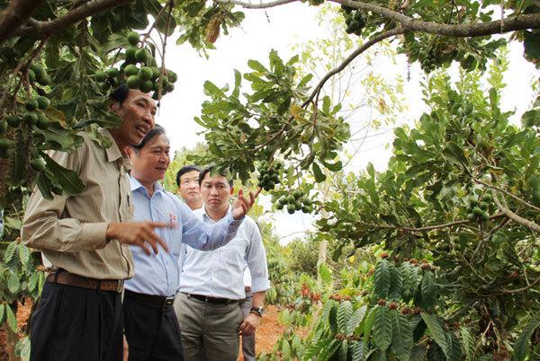 Macadamia millionaire dream slowly dies in Vietnam's Central Highlands