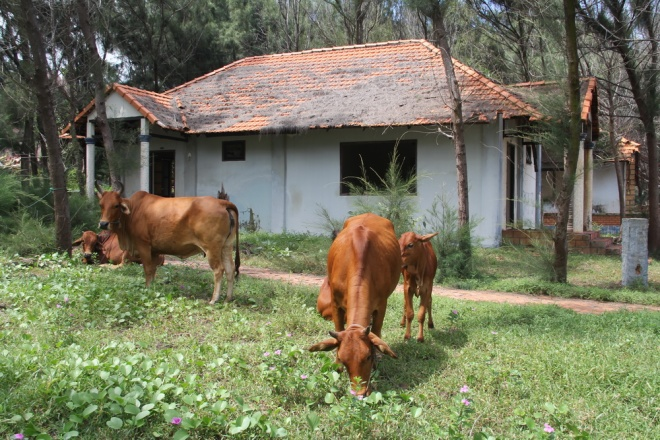 cows-take-up-residence-in-deserted-vietnam-coastal-resort-2