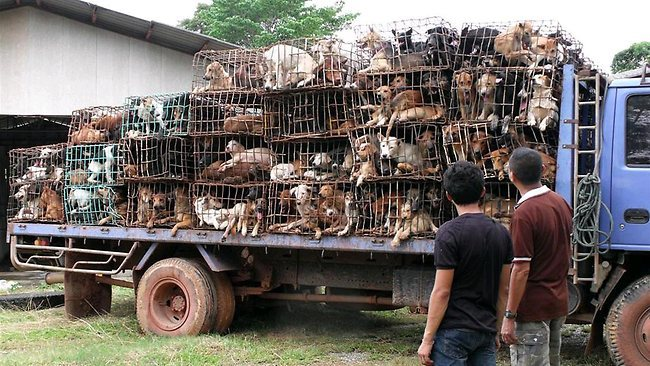 Vietnam slaughterhouse caught stuffing dogs with rice for profits