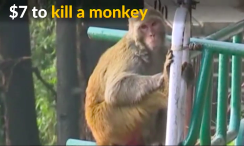 Northern Indian state asks people to kill monkeys for cash